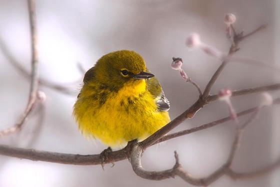 bird-pine-warbler-yellow-beauty-travis-truelove